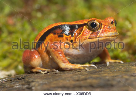 Le sud (Dyscophus guineti Grenouille tomate), Sitting on rock Banque D'Images
