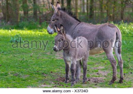 Intérieur gris, âne femelle avec Poulain, Hesse, Allemagne Banque D'Images