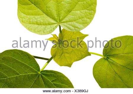 Les feuilles dentelées d'un plant de coton (Gossypium herbaceum)