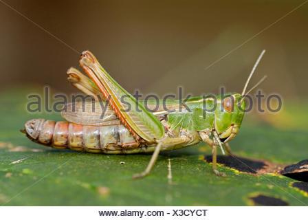 Stripe-winged grasshopper, bordée sauterelle (Stenobothrus lineatus), assis sur feuille, Allemagne Banque D'Images