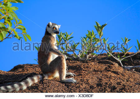 Untitled document (Lemur catta), assis sur un rocher dans la distance, de Madagascar, le Parc National de l'Andringitra Banque D'Images