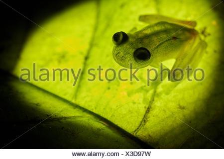 Grenouille de verre (Hyalinobatrachium cappellei cappellei, ex Hylella) - Montagne des singes (montagne des singes) - Guyane Banque D'Images