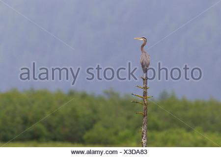 Grand Héron perché au sommet de publier sur Delta de la rivière Copper, Southcentral Alaska, l'été Banque D'Images