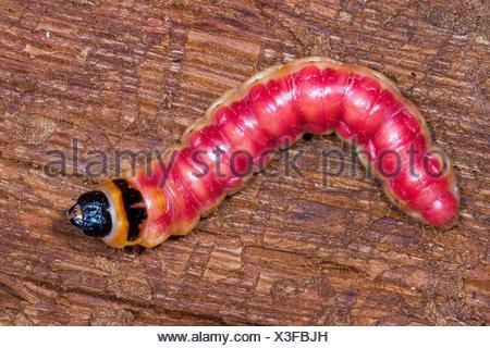 Espèce de chèvre (cossus Cossus), Caterpillar se nourrit de bois, Allemagne Banque D'Images