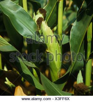 Le maïs mûr s/n et fertilisé les récepteurs sur la plante Banque D'Images