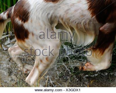 Un chien mouillé qui a été la natation, un water spaniel Banque D'Images