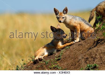 Le chacal à dos noir (Canis mesomelas), deux oursons, Kenya, Masai Mara National Park Banque D'Images