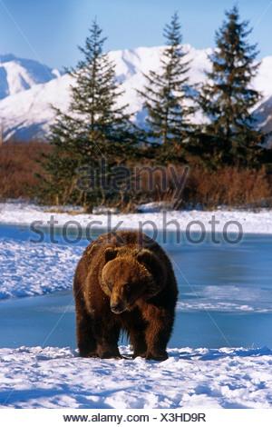 À la fin de l'hiver l'ours brun debout dans la neige près de l'étang gelé en captivité Alaska Banque D'Images