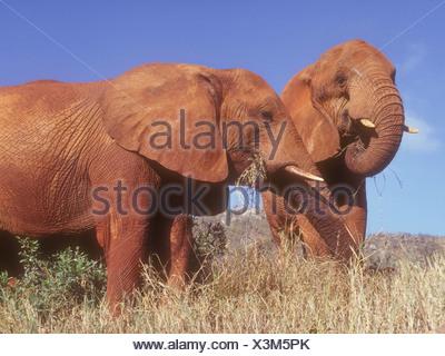Deux éléphants recouverts de la terre rouge de l'Est de Tsavo National Park Le Kenya se nourrissant d'herbe près de l'éléphant est un orphelin Eleanor Banque D'Images