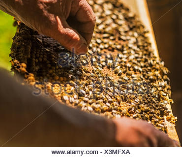 L'inspection de l'apiculteur ruche Banque D'Images