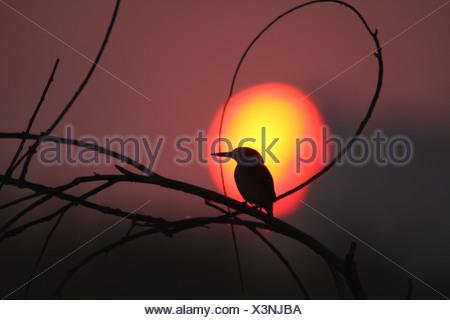 Silhouette de la malachite Kingfisher (Alcedo cristata) perché sur les brindilles au coucher du soleil, la Province de Gauteng, Afrique du Sud Banque D'Images