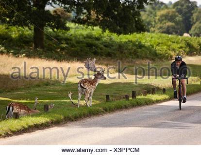 Cycliste à Richmond Park, avec le cerf, London, England, UK Banque D'Images