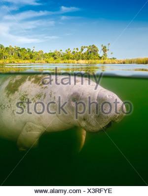 Au-dessus/en dessous du lamantin de Floride calf Banque D'Images