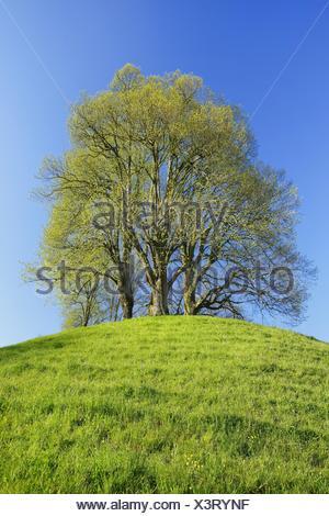 Le tilleul, Tilleul, tilleul (Tilia spec.), vert lime fraîche sur une colline au printemps, Suisse