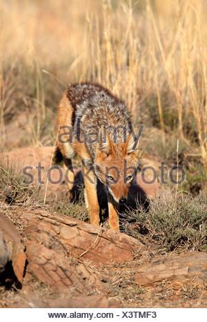 Le chacal à dos noir (Canis mesomelas), adulte, Mountain Zebra National Park, Afrique du Sud, l'Afrique Banque D'Images