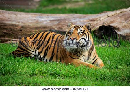 Tigre de Sumatra (Panthera tigris sumatrae), mâle adulte, alerte, survenue à Sumatra, l'Asie, captive Banque D'Images