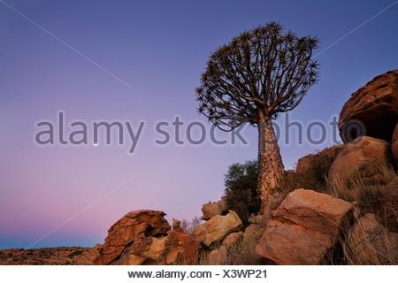 Vue d'ensemble sur un carquois Tree à l'aube avec la Lune se levant dans le ciel. Parc national de Richtersveld, Afrique du Sud Banque D'Images