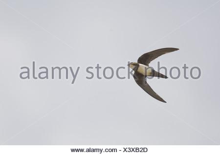 Martinet (Apus melba), adultes en vol, sur les migrations, Tarifa, Cadix, Andalousie, Espagne du Sud, automne Banque D'Images