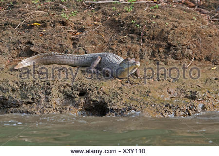 Ours à lunettes Caiman Caiman crocodilus Chuchunaka River Darién au Panama Banque D'Images