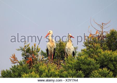 Cigogne Blanche (Ciconia ciconia), paire d'un nid sur un séquoia géant, Allemagne Banque D'Images