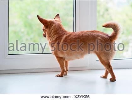 Chien chihuahua rouge debout sur un rebord de fenêtre et regarde au loin. Banque D'Images