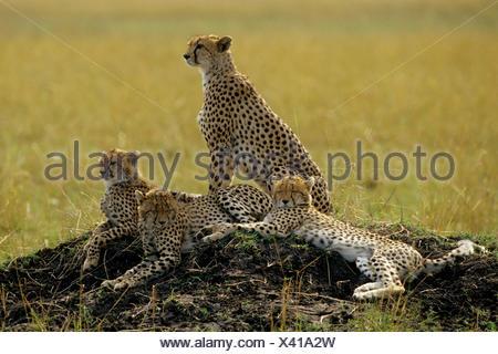 Le Guépard (Acinonyx jubatus), quatre guépards allongé sur une colline, au Kenya Banque D'Images