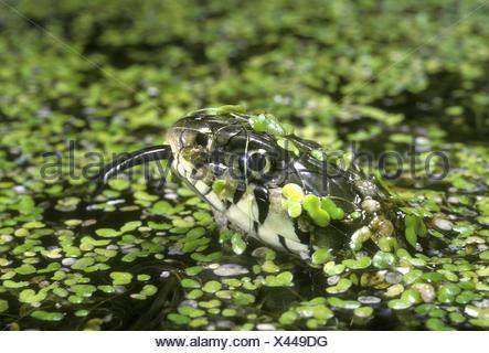 Couleuvre à collier - Natrix natrix