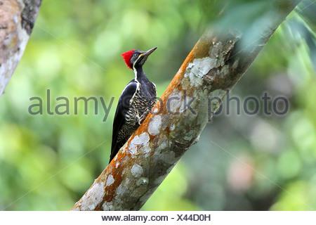 Crimson-crested woodpecker (Campephilus), Femme, Brésil