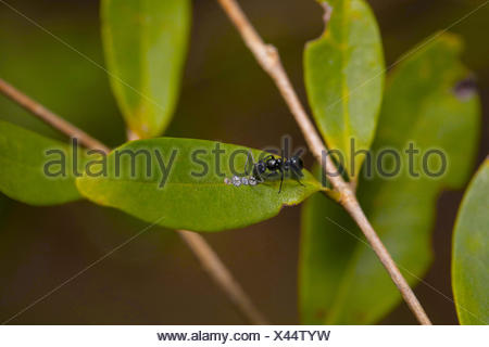 Ant, processionalis Leptogenys Procession. Pondicherry, Tamil Nadu, Inde.Ant avec les pucerons en relation symbiotique. Dans cette image les pucerons fournissant sweet