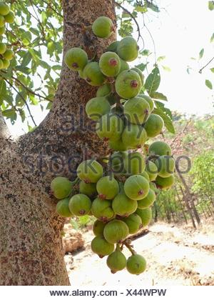 Fruits, Cluster Fig Ficus Racemosa