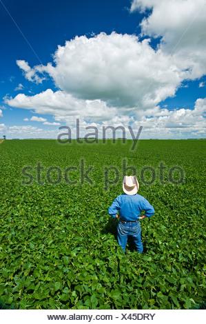 L'homme donne sur un champ de soja de croissance mi-avec les cumulus dans le ciel, près de Dugald (Manitoba) Banque D'Images