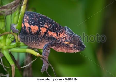 Caméléon panthère (Furcifer pardalis), femme, Madagascar Banque D'Images