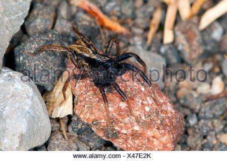 Les araignées lycoses, masse (Alopecosa cuneata), homme assis sur une pierre, Allemagne Banque D'Images