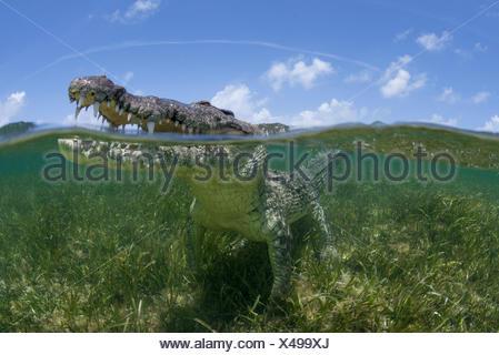 Crocodile américain à la recherche de surface des eaux peu profondes de la Réserve de biosphère de l'Atoll de Chinchorro, Quintana Roo, Mexique Banque D'Images