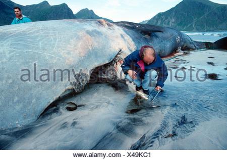 cachalot grand cachalot baleine spermaceti trompette baleine cachalot physeter. Black Bedroom Furniture Sets. Home Design Ideas