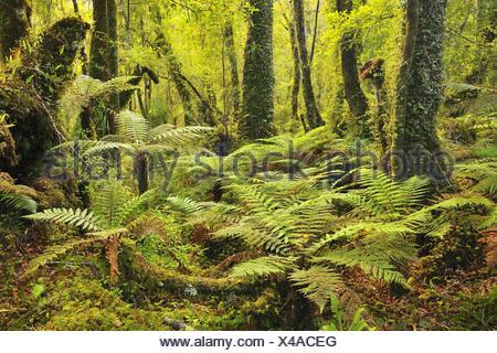 La forêt tempérée avec des fougères arborescentes, Nouvelle-Zélande, Côte Ouest, Haast Banque D'Images