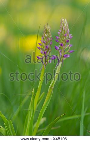 Orchidée parfumée (gymnadenia conopsea), la floraison, parc national du Haut Tauern, Autriche Banque D'Images