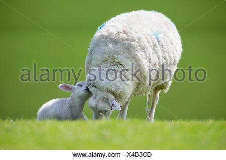 Tendre agneau et de moutons dans le champ vert printemps Banque D'Images