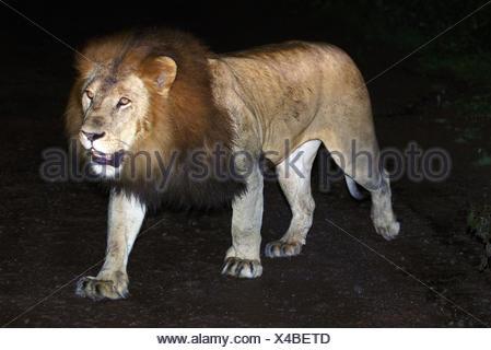 Un homme lion éthiopien à crinière noire dans la forêt d'Harenna Bale Mountains National Park, l'Éthiopie. Banque D'Images