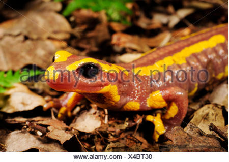 Salamandre terrestre européen (Salamandra Salamandra Salamandra salamandra terrestris, ), albino, l'Allemagne, en Rhénanie du Nord-Westphalie, région du Bergisches Land Banque D'Images