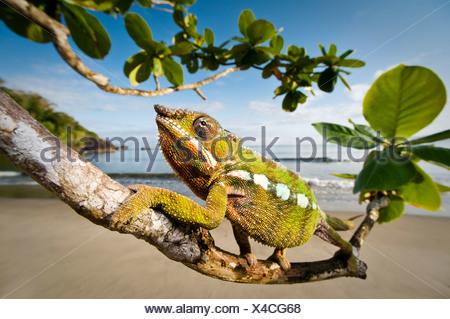 Caméléon Panthère mâle traque ses proies dans la végétation en bord de plage, dans la baie d'Antongil, péninsule de Masoala National Park, à Madagascar. Banque D'Images