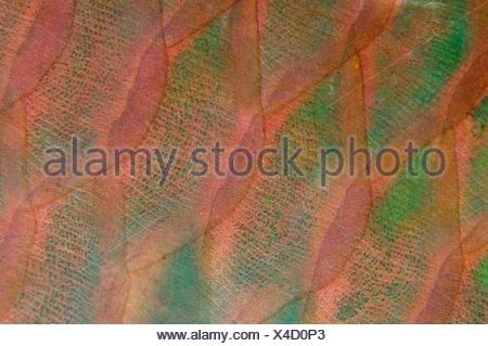 Barèmes de Rusty Perroquet Scarus ferrugineus Marsa Alam Egypte Mer Rouge Banque D'Images