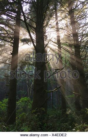 Rayons dans rainforest près de Hoh Rainforest, Olympic National Park, Washington, USA Banque D'Images