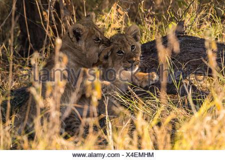 Lion cubs (Panthera leo) de jouer, Chobe National Park, Botswana