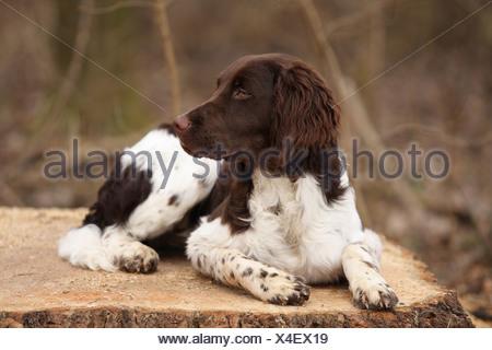Petit chien epagneul Banque D'Images