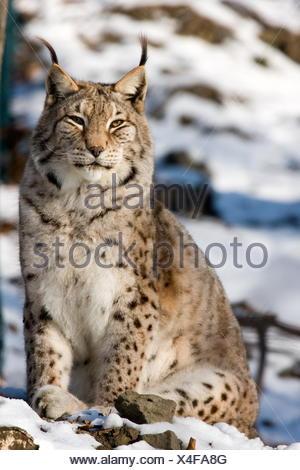 Big cat chat prédateur félin Banque D'Images