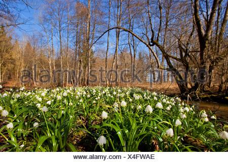 Printemps Leucojum vernum (flocon), qui fleurit dans un flootplain, forêt de Bavière, Allemagne