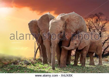 L'éléphant africain (Loxodonta africana), les éléphants avec jeune animal dans le coucher du soleil, Parc National d'Amboseli, Kenya Banque D'Images