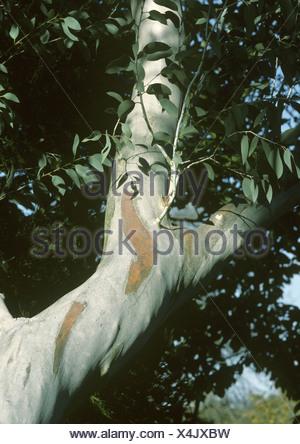 Snow Gum Eucalyptus pauciflora ssp. niphophila Banque D'Images