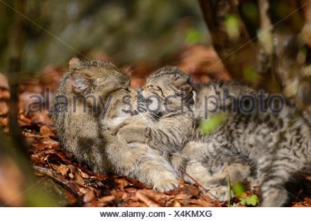 Deux chatons chat sauvage européen dans le Parc National de la forêt bavaroise, Allemagne Banque D'Images